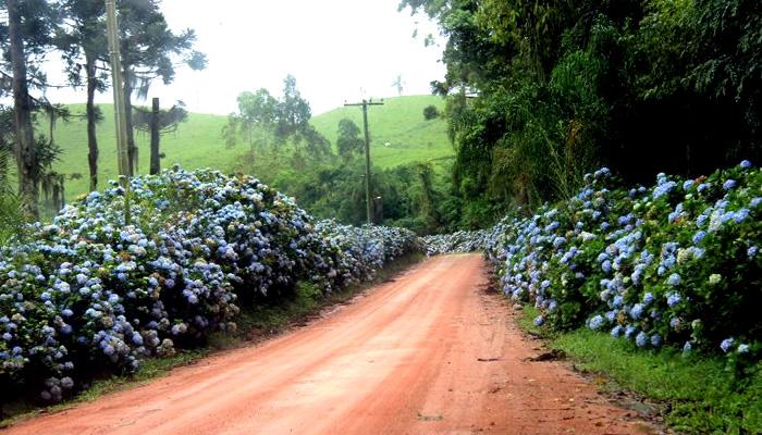 Hortênsias nas estradas de Rio do Cedro-SC
