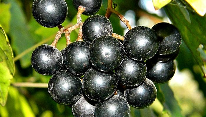 Uvas (Grapes)